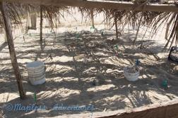 turtle nests